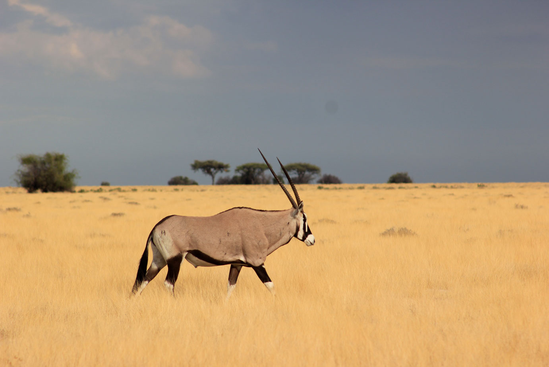 viajar-a-namibia-etosha-oryx