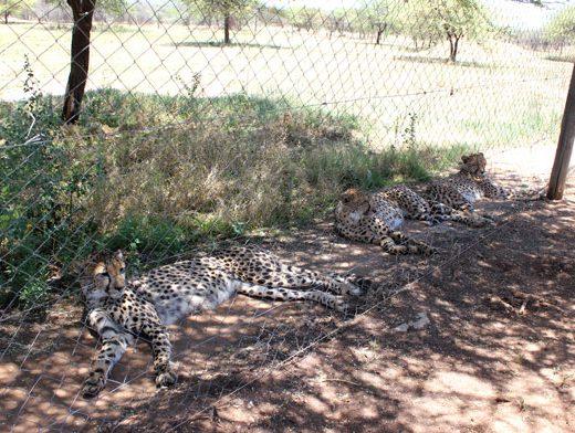 cheetah-project-guepardo