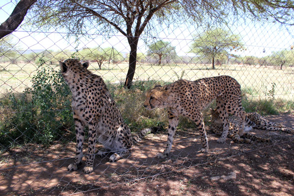 cheetah-project-namibia-guepardo