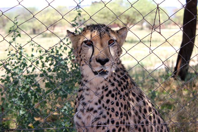 cheetah-project-namibia