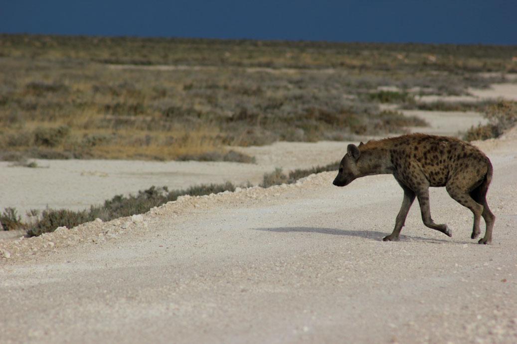 etosha-namibia-hiena