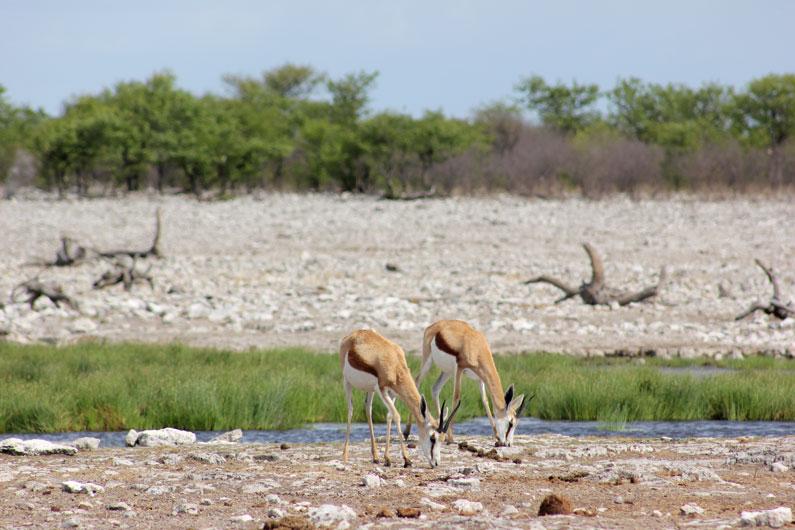 etosha-namibia-impalas-oasis