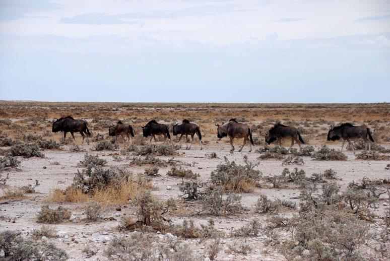 etosha-namibia-nues