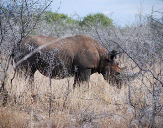etosha-namibia-rinoceronte