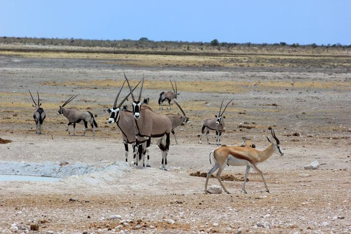 etosha-safari-oryx-namibia