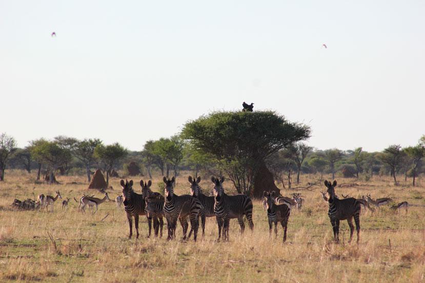 otjiwa-namibia-cebras