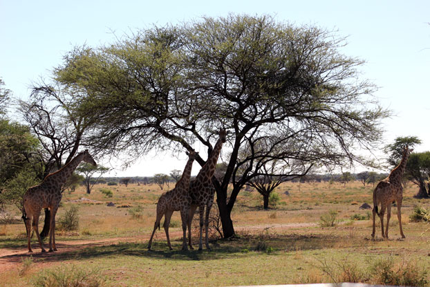 otjiwa-safari-jirafas