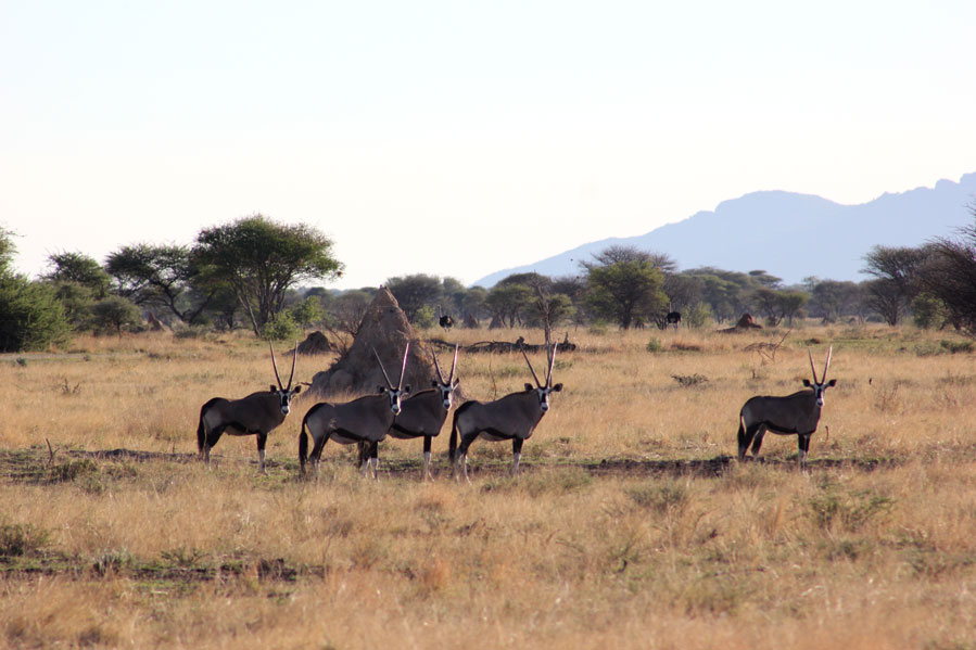 reserva-otjiwa-namibia-oryx
