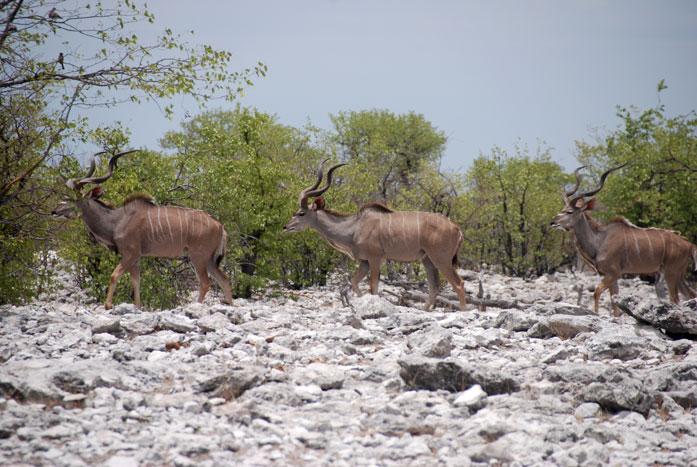 safari-etosha-elands