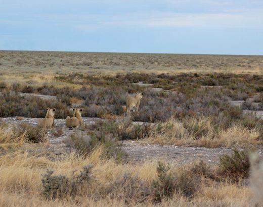 safari-etosha-namibia-leonas