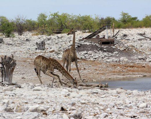 safari-namibia-jirafas-bebiendo