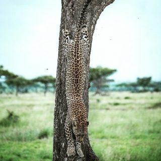 ¿Dónde está el lindo gatito?  ¿Sabías que el leopardo es uno de los animales más extendidos en nuestro planeta? Habitan por toda África y Asia. El hecho de que sea un animal solitario y que desarrolle la mayoría de su actividad por la noche, hace que sea difícil de ver y de capturar.  Existen algunas variedades de leopardo, las más espectaculares son; la pantera negra y el leopardo de las nieves.  ¿Habeis podido ver algún leopardo en vivo y en directo?  Foto de: @hshphotos - @Africanimals  #leopard #leopardo #travel #viajes #animals #animales #wildlife #faunasalvaje #safari #nature #art #instagood #cat #photooftheday #africaanimals #wildlifephotography #africa #wild #photography #africanature #africanscenary #awensome #gorongeti
