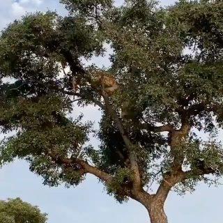 Impresionante ver como los leones son capaces de trepar a los arboles para robarle la comida a los leopardos... . Video de @sandra_l_ab . #safariafrica #safariphotography #safari #safarilife #safarikenya #safarianimals #africa #viajarafrica #africananimals #viajesafrica #wildlife #wildlifeplanet #wildlifelovers #wildlifeaddicts #lion #lions #leopard #gorongeti #traveladdict